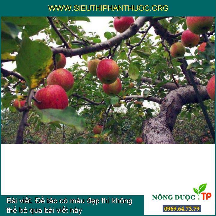 Để táo có màu đẹp thì không thể bỏ qua bài viết này