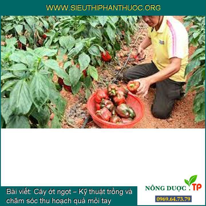 Cây ớt ngọt – Kỹ thuật trồng và chăm sóc thu hoạch quả mỏi tay