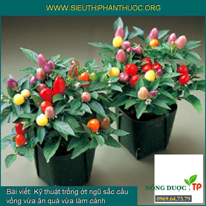 Kỹ thuật trồng ớt ngũ sắc cầu vồng vừa ăn quả vừa làm cảnh