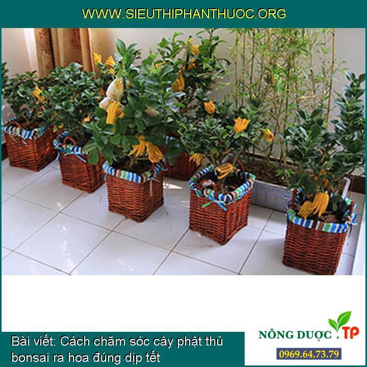 Cách chăm sóc cây phật thủ bonsai ra hoa đúng dịp tết