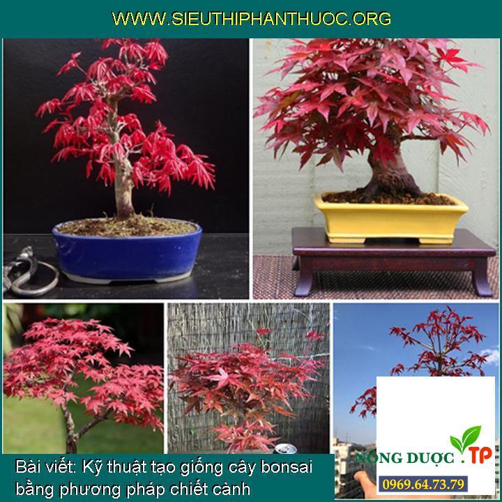 Kỹ thuật tạo giống cây bonsai bằng phương pháp chiết cành