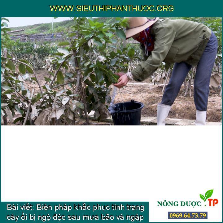 Biện pháp khắc phục tình trạng cây ổi bị ngộ độc sau mưa bão và ngập mặn