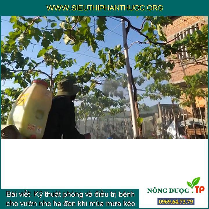 Kỹ thuật phòng và điều trị bệnh cho vườn nho hạ đen khi mùa mưa kéo dài