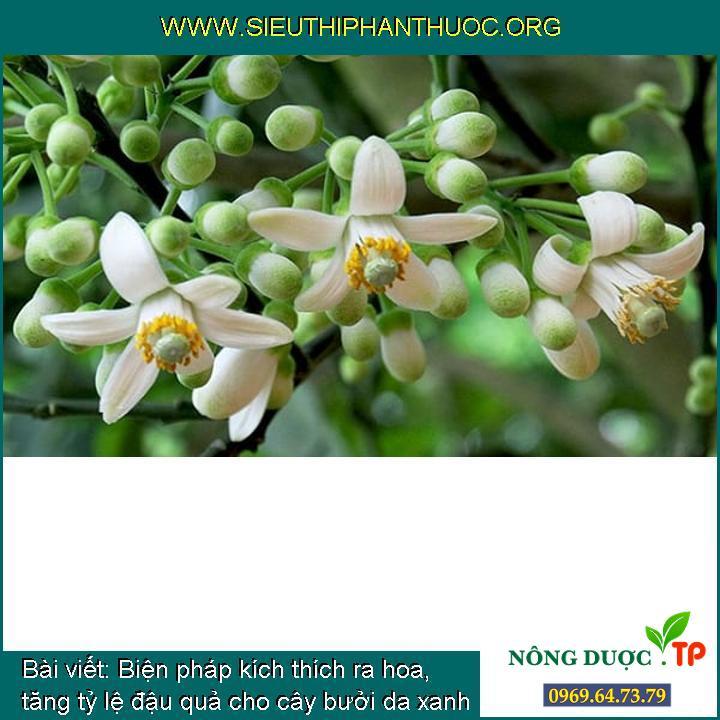 Biện pháp kích thích ra hoa, tăng tỷ lệ đậu quả cho cây bưởi da xanh