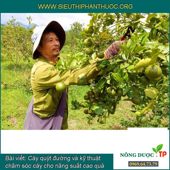 Cây quýt đường và kỹ thuật chăm sóc cây cho năng suất cao quả ngọt