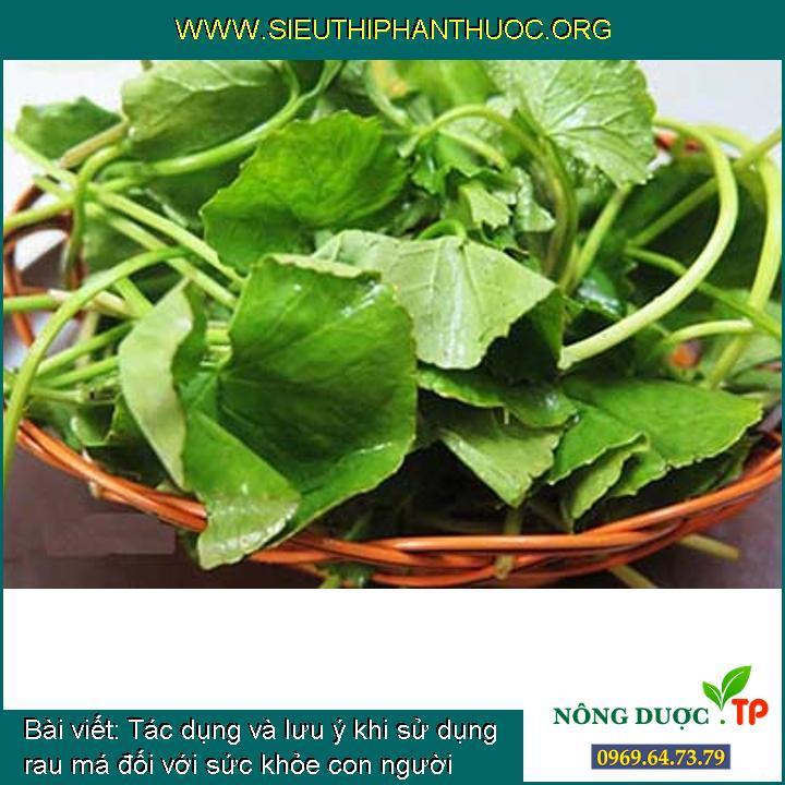 Tác dụng và lưu ý khi sử dụng rau má đối với sức khỏe con người