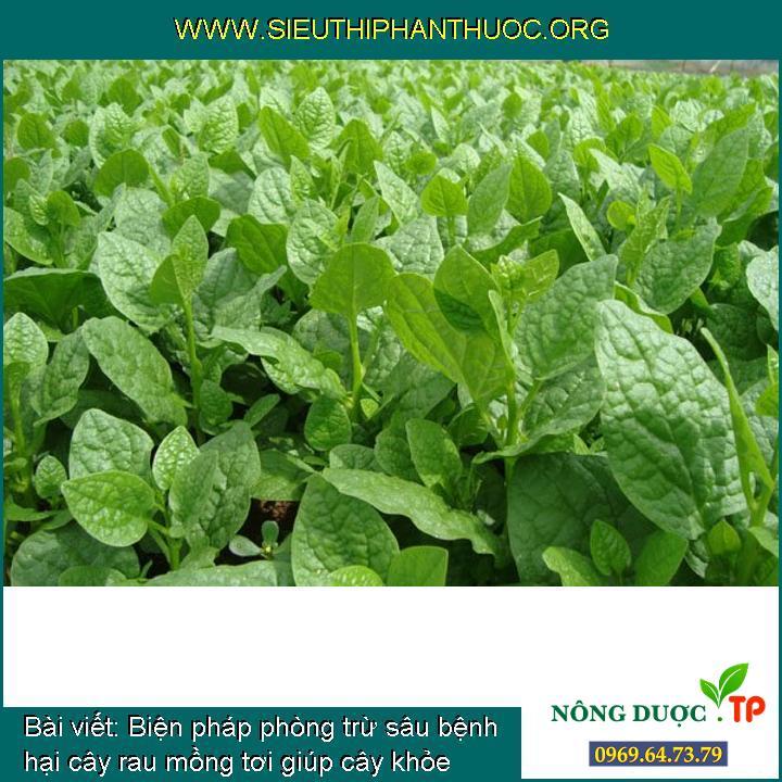 Biện pháp phòng trừ sâu bệnh hại cây rau mồng tơi giúp cây khỏe mạnh và xanh mơn mởn