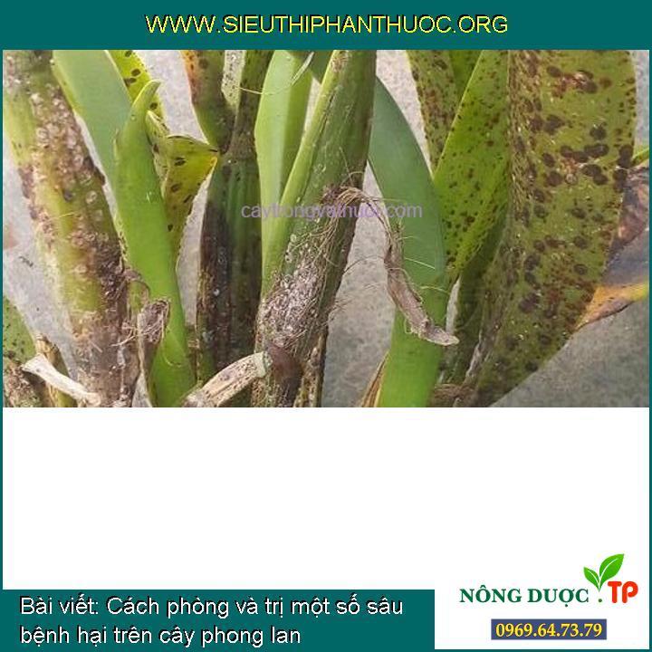 Cách phòng và trị một số sâu bệnh hại trên cây phong lan