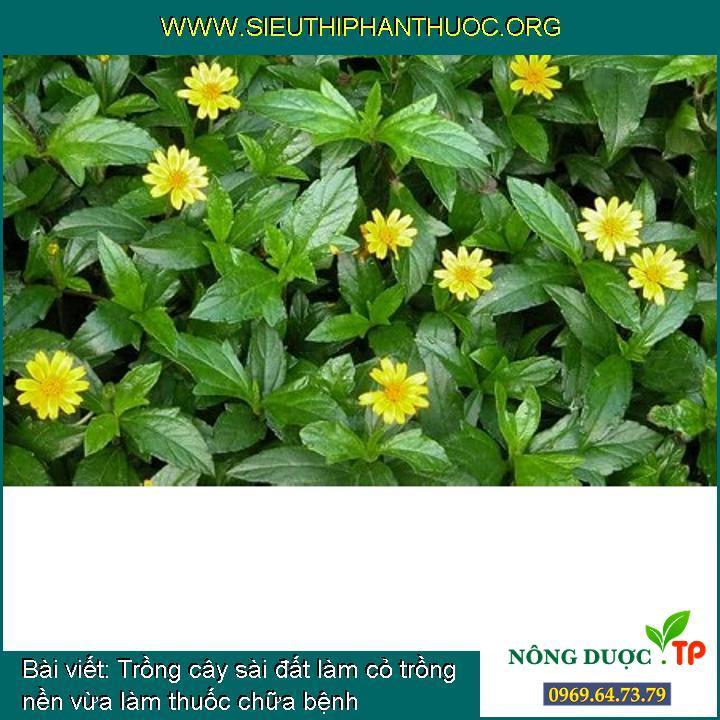 Trồng cây sài đất làm cỏ trồng nền vừa làm thuốc chữa bệnh