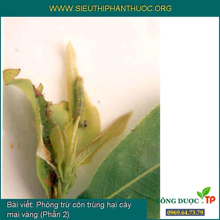 Phòng trừ côn trùng hại cây mai vàng (Phần 2)