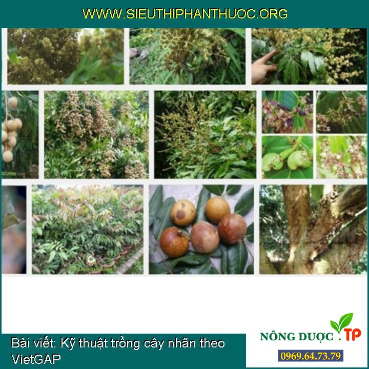 Kỹ thuật trồng cây nhãn theo VietGAP