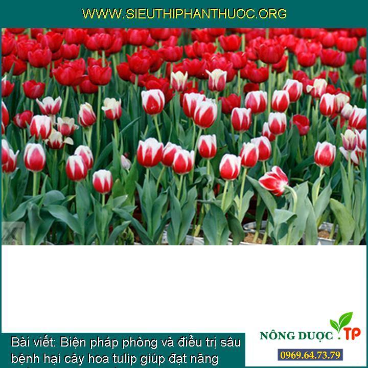 Biện pháp phòng và điều trị sâu bệnh hại cây hoa tulip giúp đạt năng suất hoa vào dịp tết