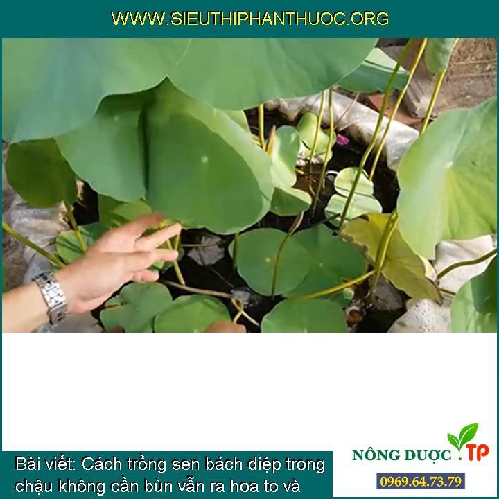 Cách trồng sen bách diệp trong chậu không cần bùn vẫn ra hoa to và đẹp