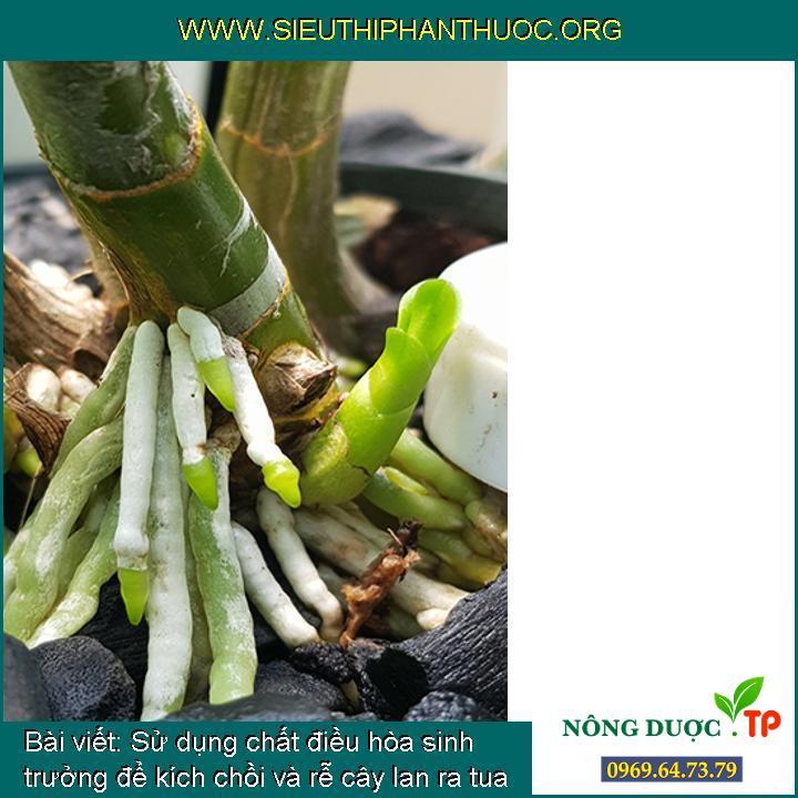 Sử dụng chất điều hòa sinh trưởng để kích chồi và rễ cây lan ra tua tủa