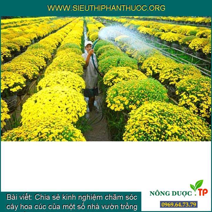 Chia sẻ kinh nghiệm chăm sóc cây hoa cúc của một số nhà vườn trồng đón tết Nguyên Đán