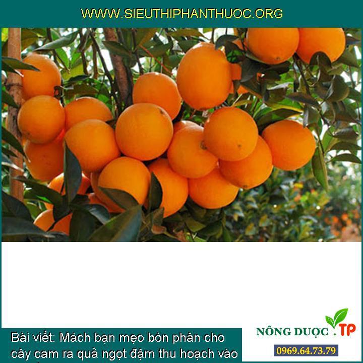 Mách bạn mẹo bón phân cho cây cam ra quả ngọt đậm thu hoạch vào dịp tết