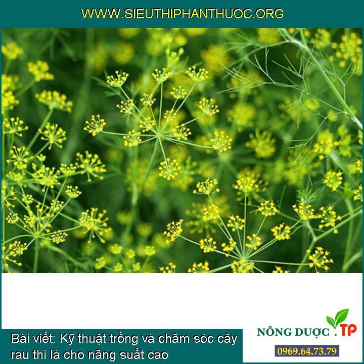 Kỹ thuật trồng và chăm sóc cây rau thì là cho năng suất cao