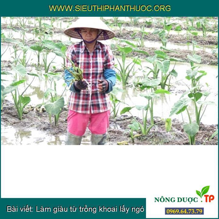 Làm giàu từ trồng khoai lấy ngó
