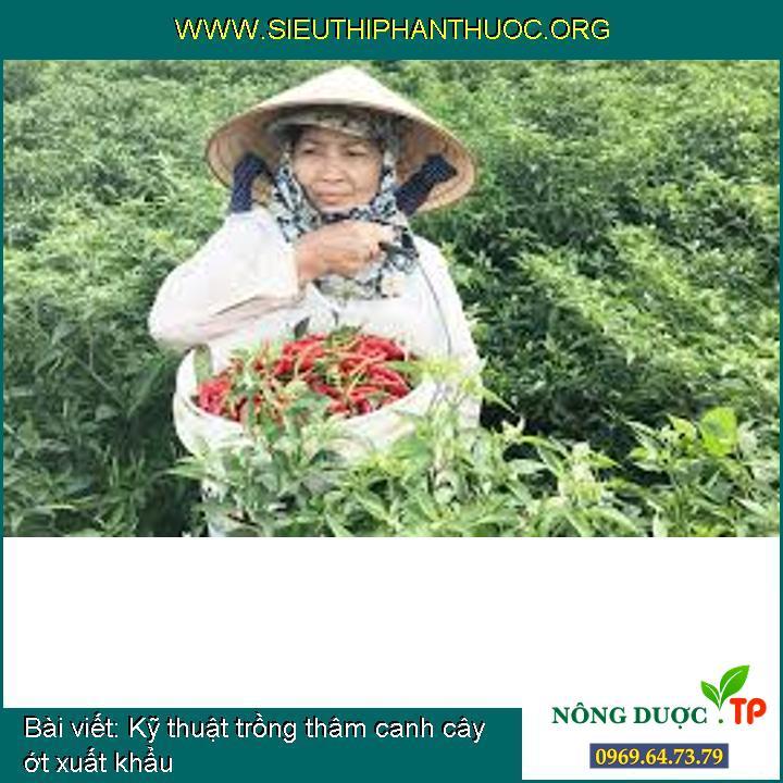 Kỹ thuật trồng thâm canh cây ớt xuất khẩu