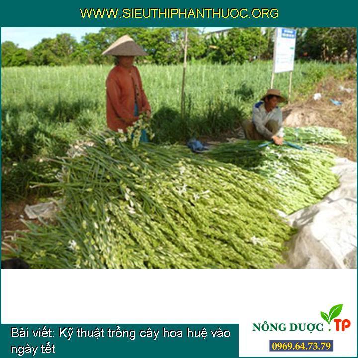 Kỹ thuật trồng cây hoa huệ vào ngày tết