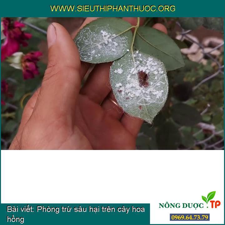 Phòng trừ sâu hại trên cây hoa hồng