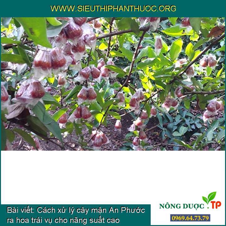 Cách xử lý cây mận An Phước ra hoa trái vụ cho năng suất cao