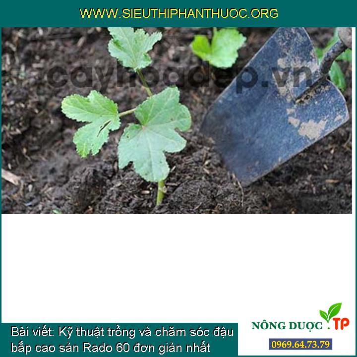 Kỹ thuật trồng và chăm sóc đậu bắp cao sản Rado 60 đơn giản nhất