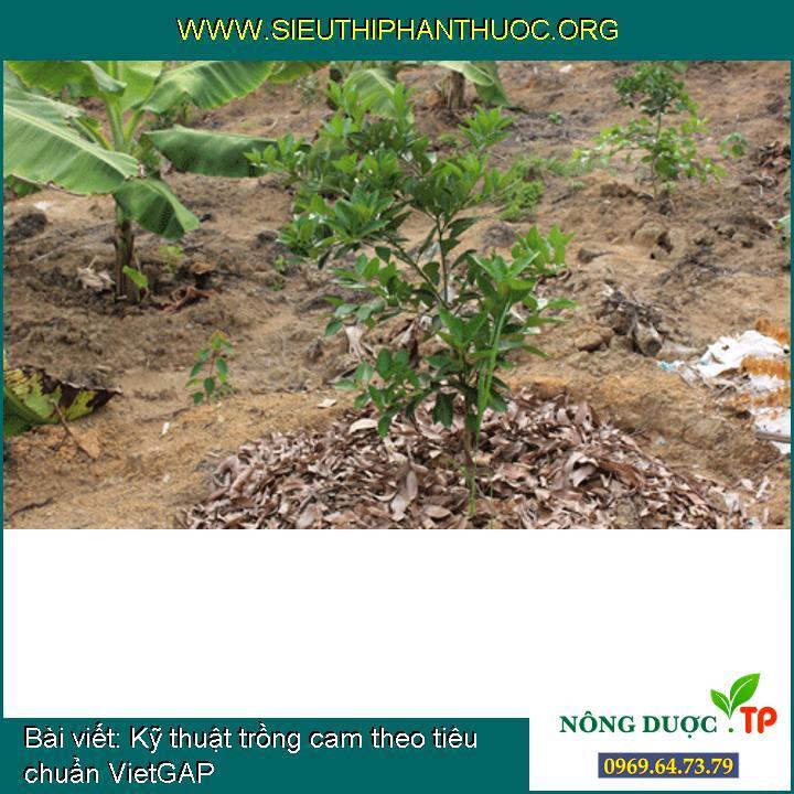 Kỹ thuật trồng cam theo tiêu chuẩn VietGAP