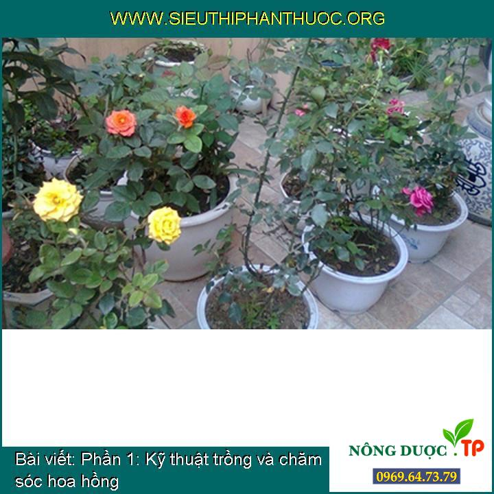 Phần 1: Kỹ thuật trồng và chăm sóc hoa hồng