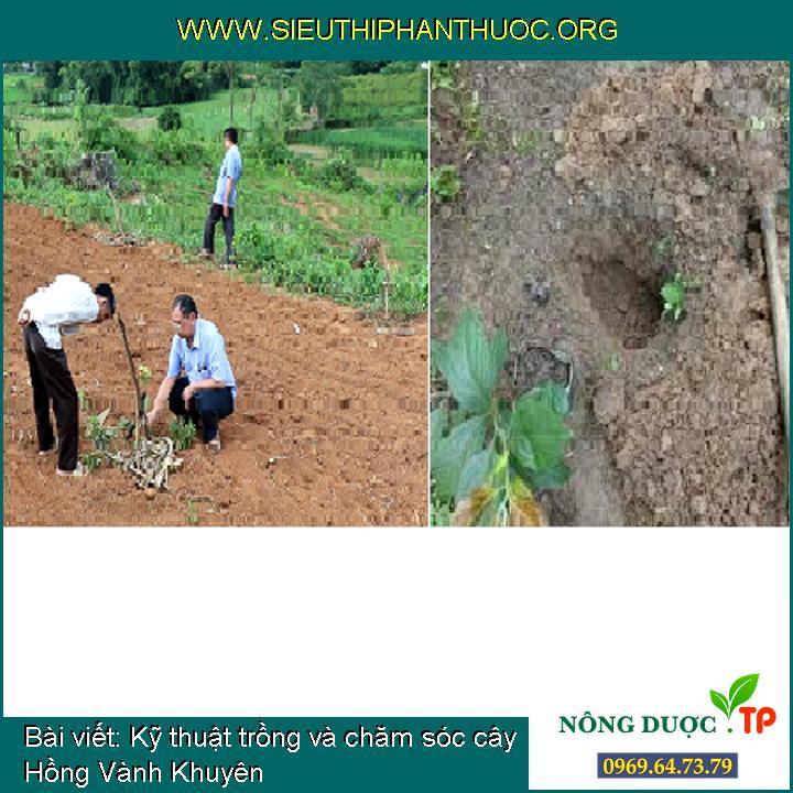 Kỹ thuật trồng và chăm sóc cây Hồng Vành Khuyên