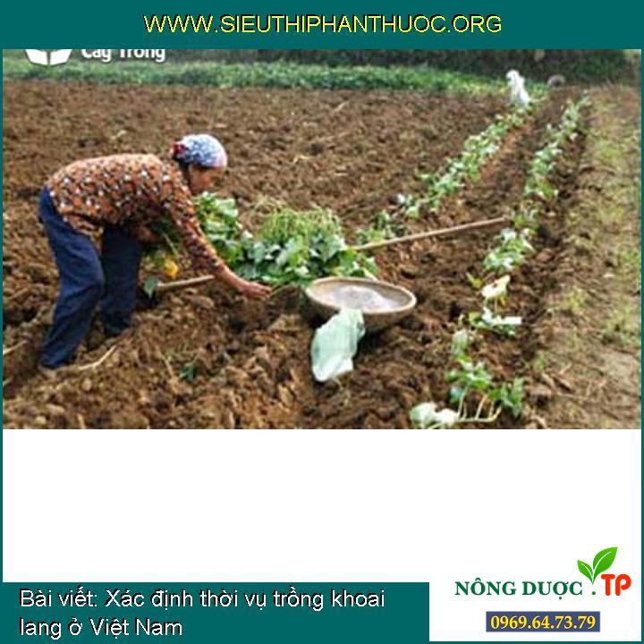 Xác định thời vụ trồng khoai lang ở Việt Nam