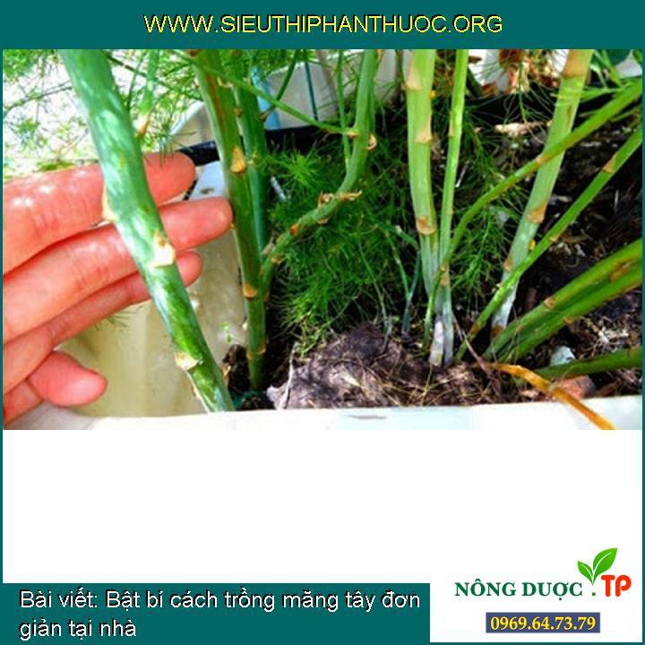 Bật bí cách trồng măng tây đơn giản tại nhà