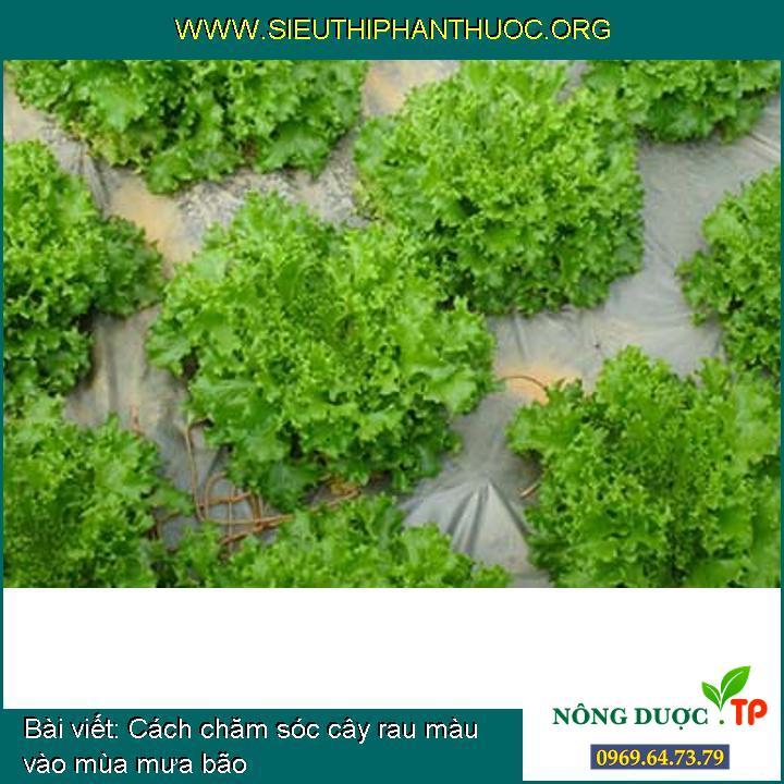 Cách chăm sóc cây rau màu vào mùa mưa bão