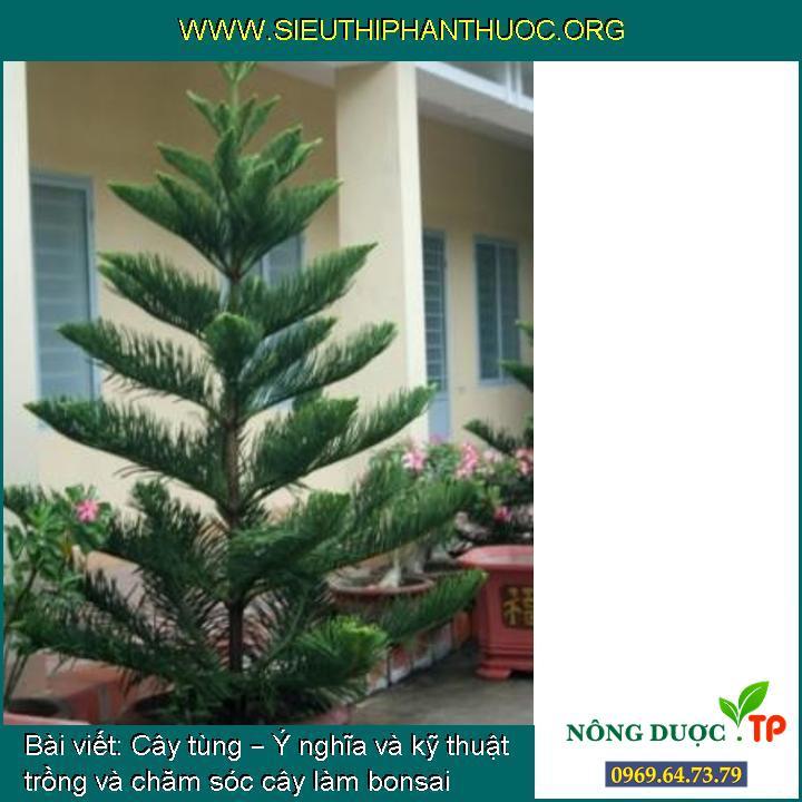 Cây tùng – Ý nghĩa và kỹ thuật trồng và chăm sóc cây làm bonsai