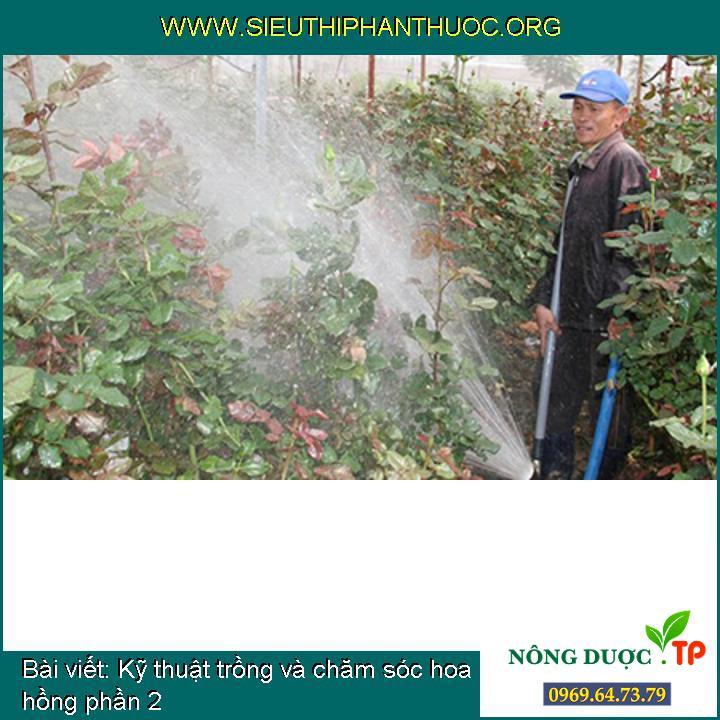Kỹ thuật trồng và chăm sóc hoa hồng phần 2