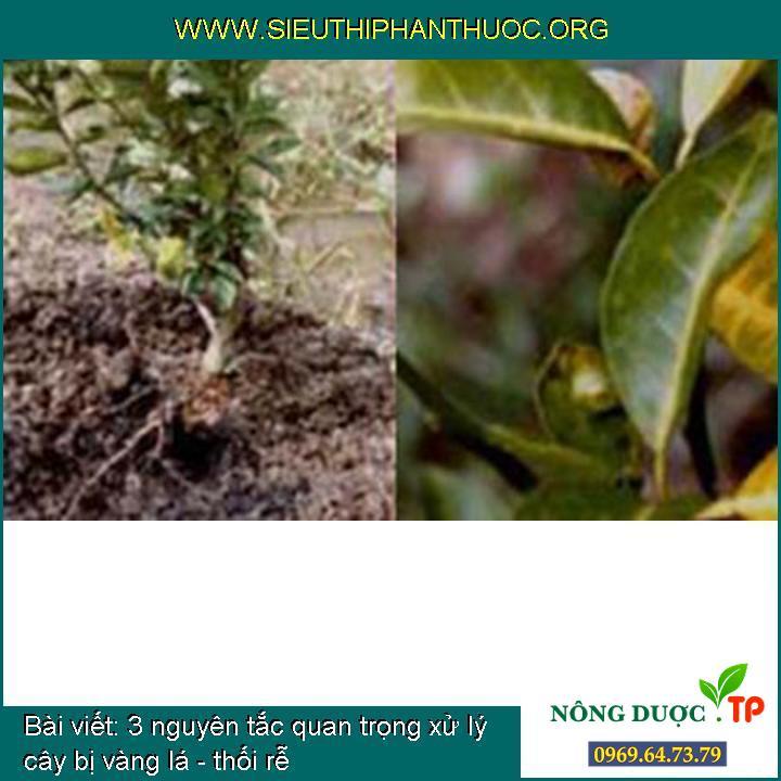 3 nguyên tắc quan trọng xử lý cây bị vàng lá - thối rễ