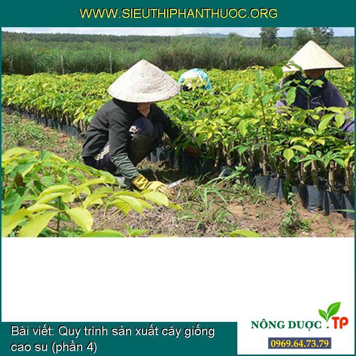 Quy trình sản xuất cây giống cao su (phần 4)