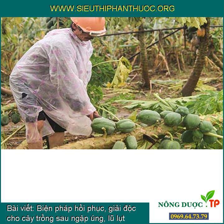 Biện pháp hồi phục, giải độc cho cây trồng sau ngập úng, lũ lụt
