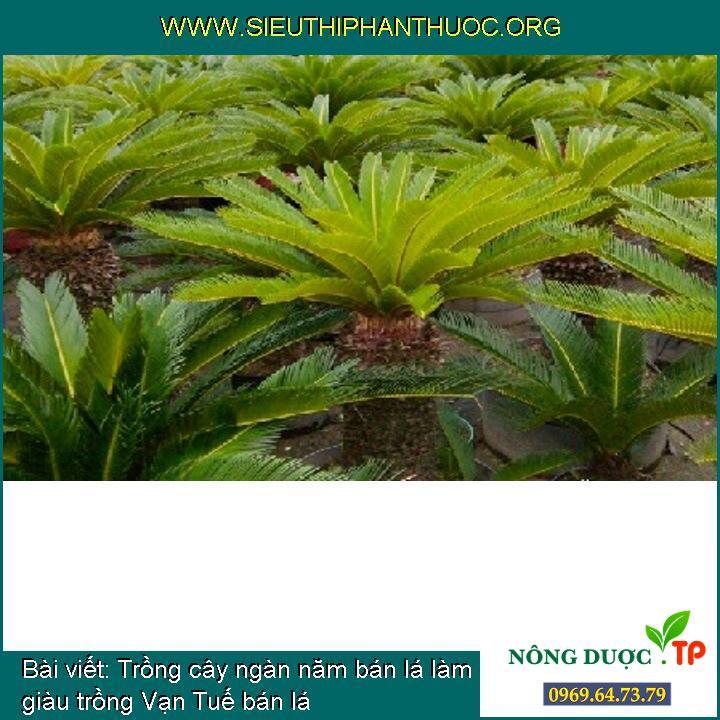 Trồng cây ngàn năm bán lá làm giàu trồng Vạn Tuế bán lá