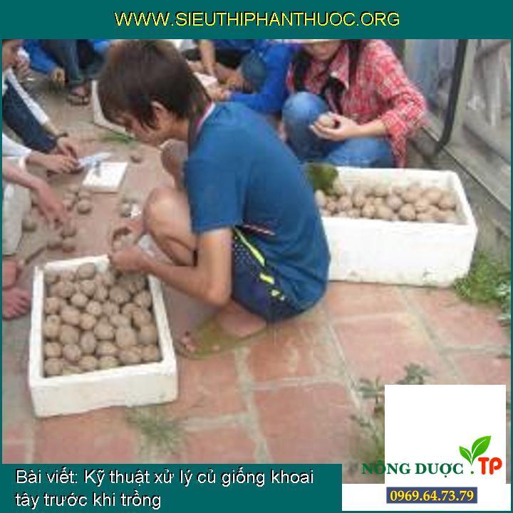 Kỹ thuật xử lý củ giống khoai tây trước khi trồng