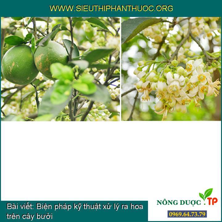 Biện pháp kỹ thuật xử lý ra hoa trên cây bưởi